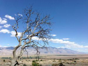 drought tree
